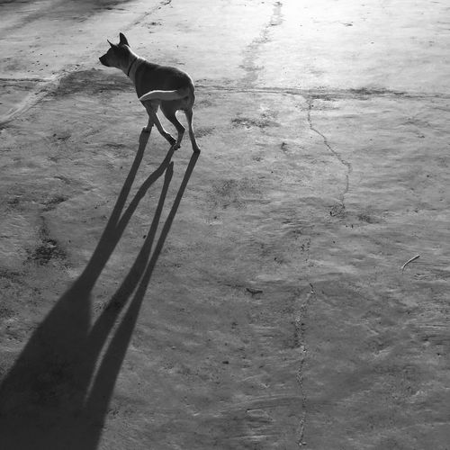 Kintamani Dog Black And White Blackandwhite Bw Bws_worldwide Shadow Mammal Animal Themes Pets Nature Outdoors