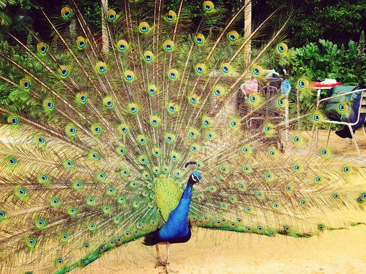 Animals Peacock - Peacock Feathers Peacock Fountain