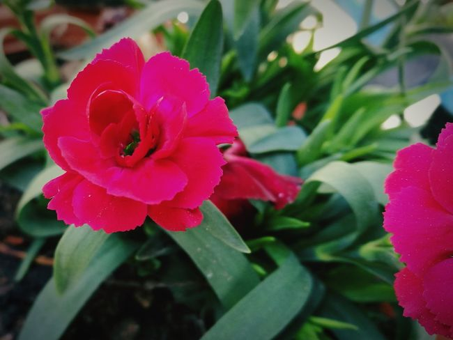 First Eyeem Photo Garofano Fucsia Flowers