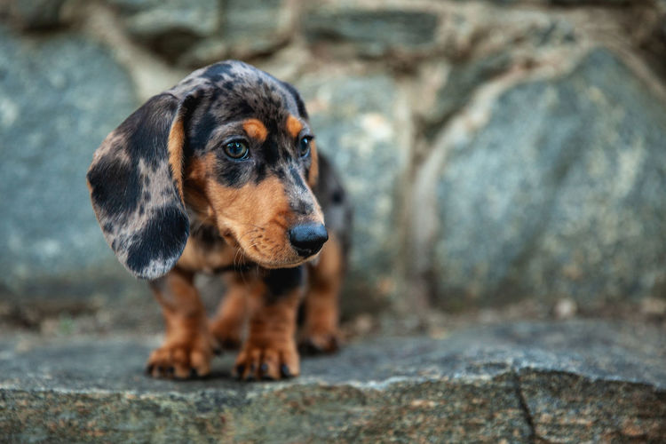 One Animal Canine Dog Domestic Pets Animal Domestic Animals Mammal No People Puppy Daschund Pet Photography  Looking Away Portrait Animal Body Part Animal Head  Focus On Foreground