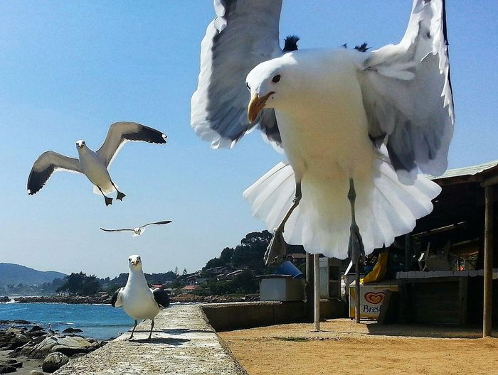 Bird Animals In The Wild Seagull Beach Animal Wildlife Flying Outdoors Day Water Spread Wings Animal Themes Sea Nature No People Sky