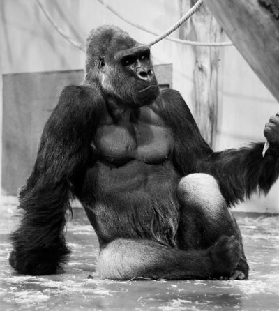 Animal Animal Themes Animals Animals In The Wild Ape Black & White Black And White Blackandwhite Chimpanzee Contemplation Day Deep In Thought Gorilla Indoors  Low Angle View Mammal Mammals Monkey No People Pondering Silverback Gorilla Thinking Thoughtful Thoughts Zoo