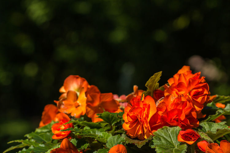 Orange Beauty In Nature Blooming Close-up Day Flower Flower Head Fragility Freshness Growth Leaf Nature No People Outdoors Petal Plant Red Red Flower
