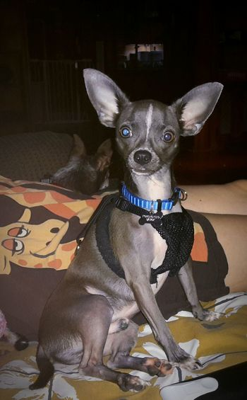 Poncho Kilo Sitting Handsomely Fellsmere, Florida USA Florida Life Casa De Albatross Fellsmere Florida Florida Chihuahua Lovers Chihuahuas<3 My Dogs Are Cooler Than Your Kids My Best Friend Happy Dogs My Life ❤