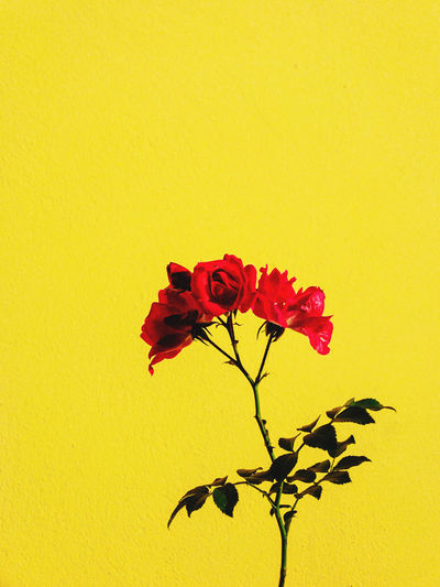 Close-up of red rose against yellow wall