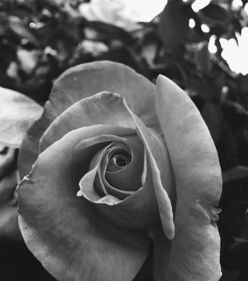 Rose - Flower Rose Petals Rosé Blackandwhite Black And White Blackandwhite Photography Black & White Black And White Rose Flower Black And White Flower Flower Collection Flower Photography Sad Rose