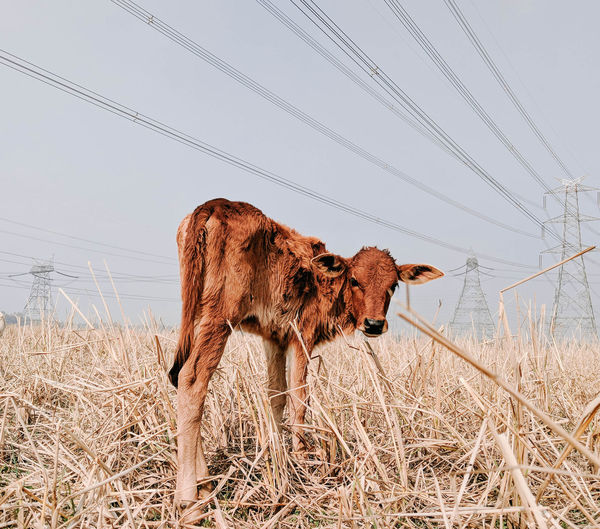 Portrait of calf standing on field against sky