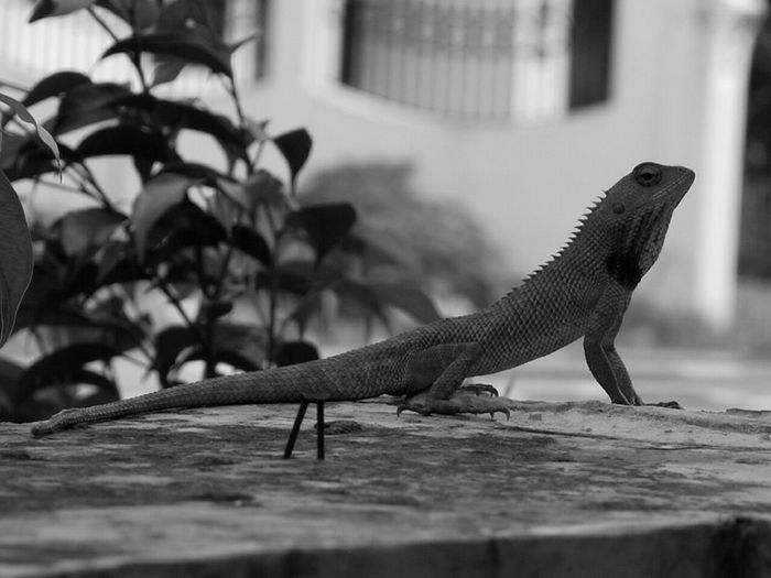 Reptile Animal Themes Close-up Day EyeEm Nature Lover Nature Photography Nature <3  Black & White Outdoors Wildlife Hanging Out Taking Photos ❤ - at Gurgaon India