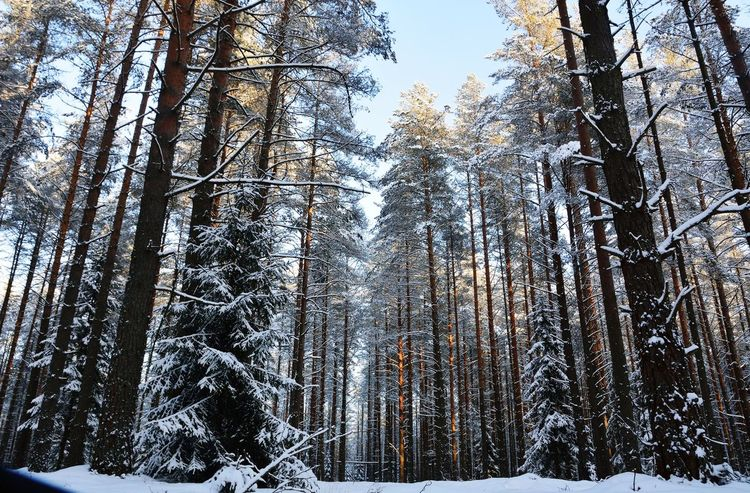 Tree Low Angle View Nature Forest Tree Trunk Winter Day Growth Beauty In Nature Cold Temperature Snow Sky Outdoors No People WoodLand