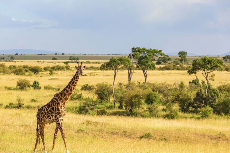Side view of giraffe on landscape against sky
