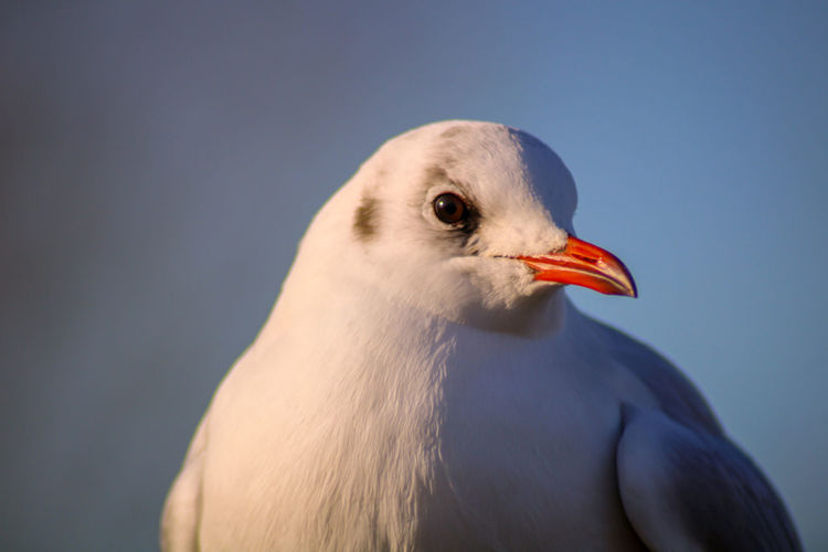 Close-up of seagull against blue sky
