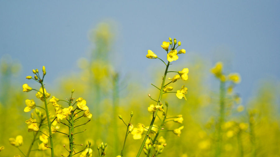Close-up of oilseed rape