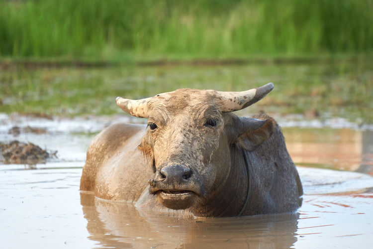 Buffalo Animal