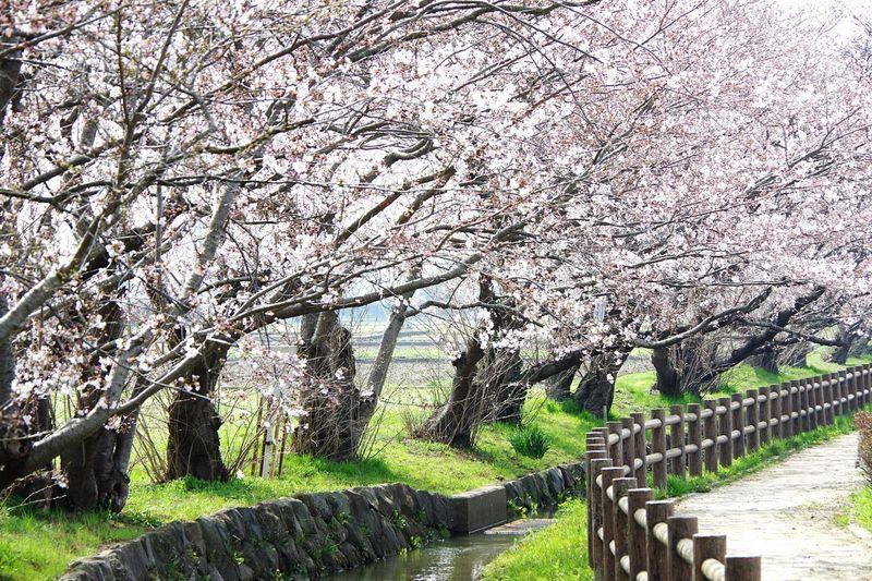 春だなぁ Pentaxk3 小川 桜 Blossom Tree Cherry Blossom Flower Springtime Cherry Tree