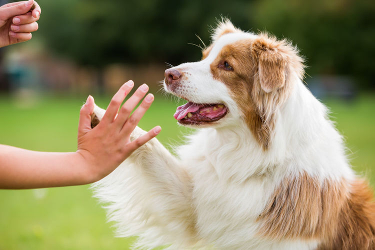 Cropped Image Of Girl Giving High-Five To Australian Shepherd