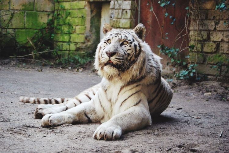 White tiger in captivity