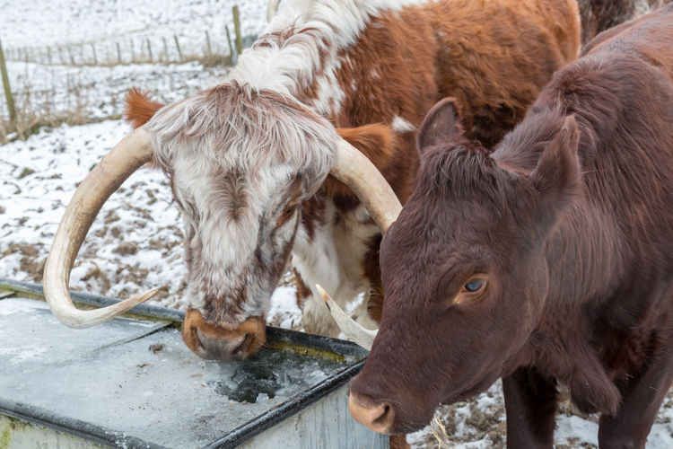 Close-up of cows in pen during winter