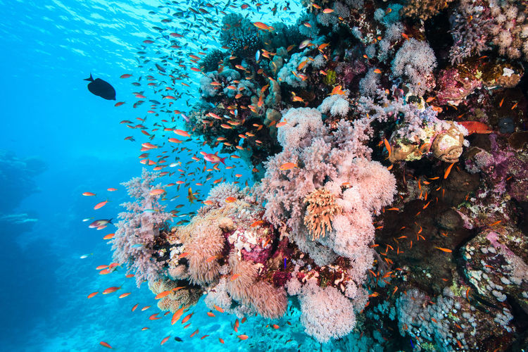 School Of Fish Swimming By Coral In Red Sea