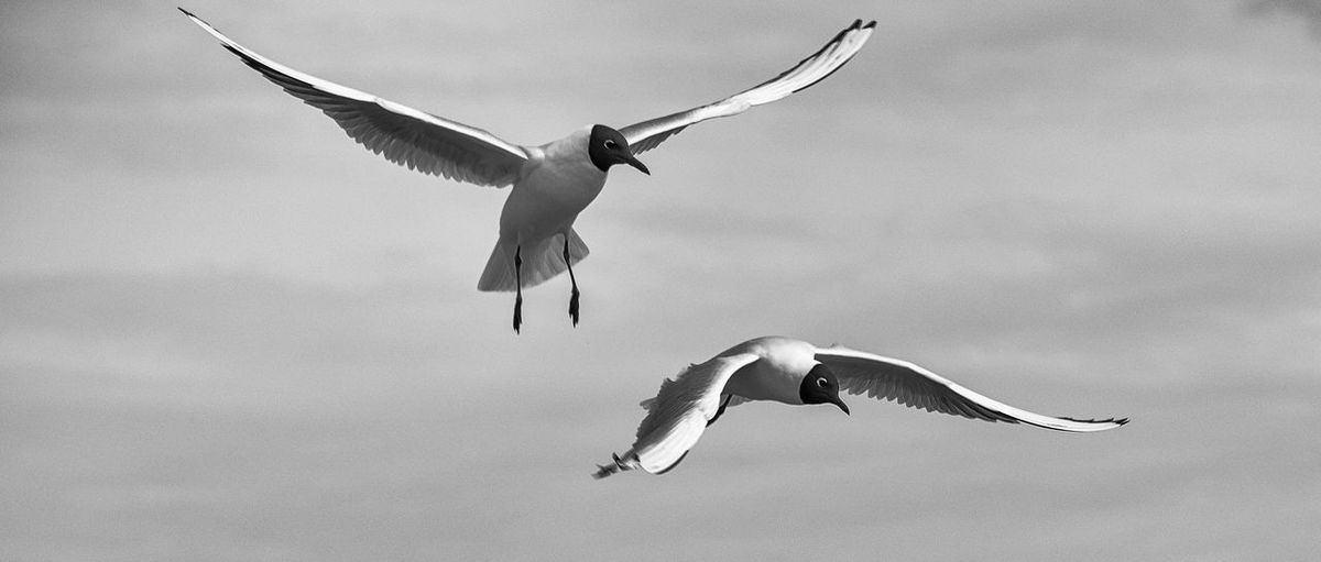 Low angle view of black-headed gulls flying against cloudy sky