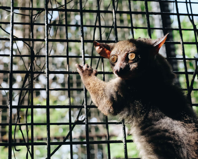 Portrait of galago in zoo