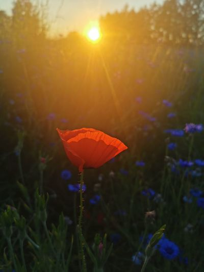 Red flower on field against sky during sunset