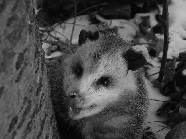 Opposum Marsupial Check This Out Hanging Out Eating Birdseed Black And White Photography Black And White Collection  Black And White Nature Winter Peekaboo Nature Photography Nature Nature_collection Nature On Your Doorstep OpenEdit Check This Out Up Close Street Photography