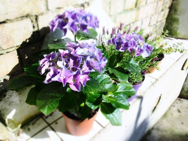 Hydrangea Shabby Chic Gardening Flower Pot Purple Hydrangea Flower Flowering Plant Plant Vulnerability  Fragility Nature Freshness Beauty In Nature Purple No People Plant Part Close-up Leaf High Angle View Petal Flower Head