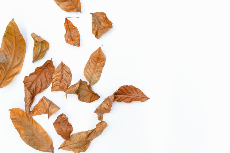 Autumn of brown dry leaf on white background. White Background Studio Shot Indoors  Leaf Plant Part No People Still Life Brown Leaves Autumn Close-up Dry Change Cut Out Copy Space Nature Food And Drink Large Group Of Objects Vulnerability  Fragility Dried Snack