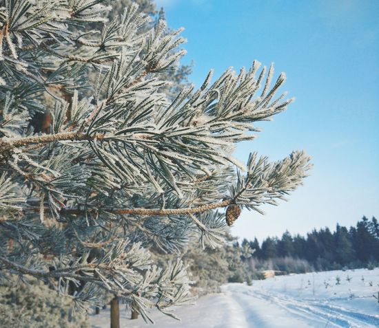 Tree Cold Temperature Winter Snow Nature Pine Tree Sky Outdoors No People Clear Sky Low Angle View Day Landscape Beauty In Nature Frozen Русскаязима Country Life Village Wintertime Russia Christmas