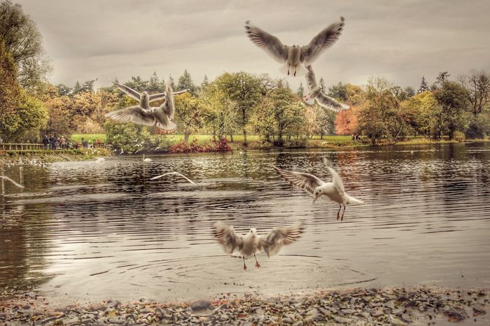 Seagulls At The Lake Hillsborough Forest And Lake Seagulls Lakeside Northern Ireland Best Of EyeEm Natures Magic Beauty In Nature EyeEm Gallery EyeEm Best Shots Our Best Pics Exceptional Photographs EyeEm Nature Lover EyeEm Best Shots - Nature Awesome_nature_shots Captured Motion Water Birds Bird Lake Lakeside Birds Birds Autumnal Colours Flock Of Birds Adapted To The City Perspectives On Nature Shades Of Winter An Eye For Travel