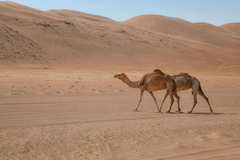 Full length of camels walking in desert