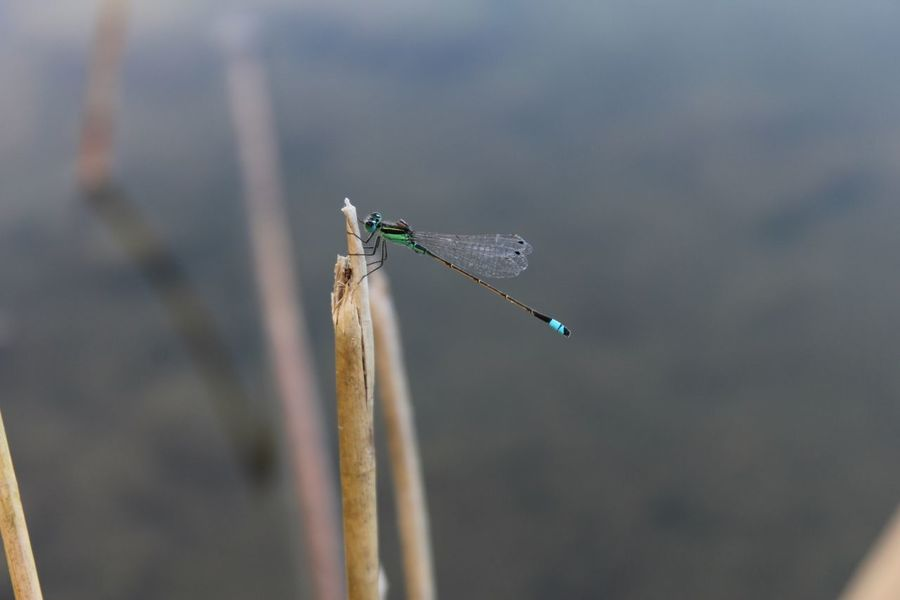 Insect One Animal Animal Themes Animals In The Wild Focus On Foreground Nature Animal Wildlife Damselfly No People Winged Close-up Outdoors Beauty In Nature Libelula The Great Outdoors - 2017 EyeEm Awards Neon Life