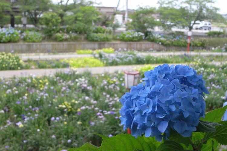 花 Ricoh GX100 Ricoh 紫陽花 Flower Flower Head Blue Greenhouse Springtime Close-up Plant
