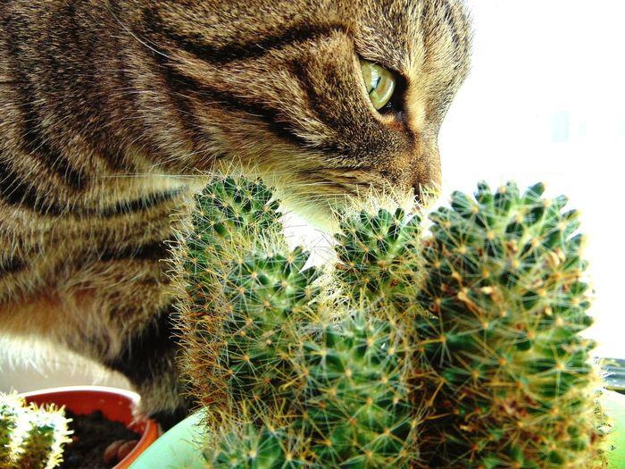 Cat Eyes Cactus Flowers кот котэ усатик няша пупсик глаза  шотландец красота Природа