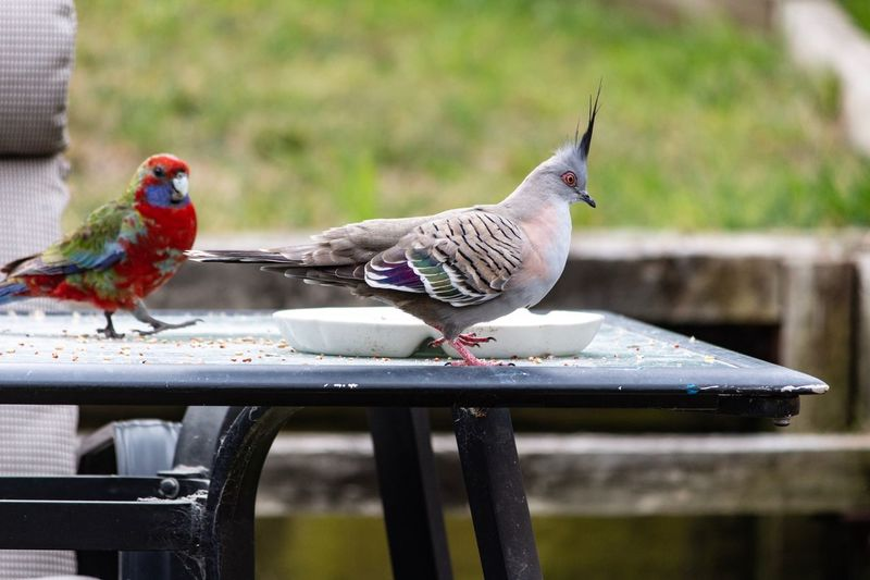 Beauty Of Nature Table Australian Wildlife Bird Themes Crested Pigeon Crimson Rosella Bird Animal Themes Vertebrate Animal Animal Wildlife Animals In The Wild Group Of Animals Food Outdoors Nature No People Day