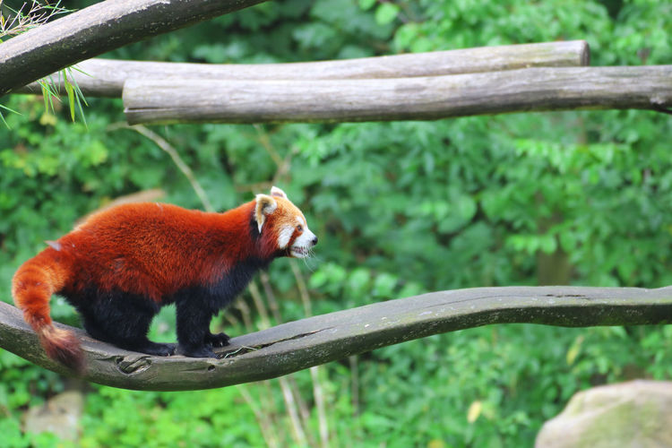 Red Panda Walking On Wood In Forest