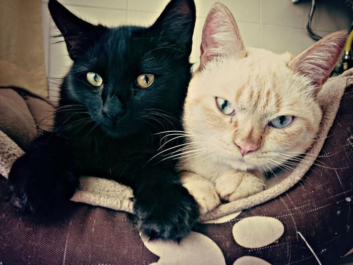 My Cats Anakin Ruby Dark Side Light Side The Force Is Stong In This One Domestic Cat Animal Themes Looking At Camera Home Interior Close-up Domestic Animals Feline Pets Posing Film Strike A Pose Eyeemphoto Pet Portraits