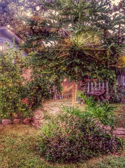 Good morning from the Garden.... oranges are turning orange. ....... papaya tree is full of fruit...... Tree No People Growth Illuminated Outdoors Nature Flower Sky Texas Taking Photos Hello World Thingsthatmakemesmile InTheGarden EyeEm Nature Lover Hdr_gallery Richwood Texas Outdoors Nature Day Architecture Horizontal Streamzoo Family