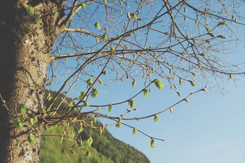 Hallstatt Plant