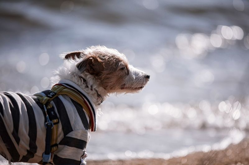 Dog Pets One Animal Domestic Animals Mammal Animal Themes Outdoors Pet Collar Nature Day Water Sea No People Jackrussell Jackrussellterrier Kinoko Beach Sands Wavelets Ripples Breeze Dof Depth Of Field Bokeh Bokeh Photography