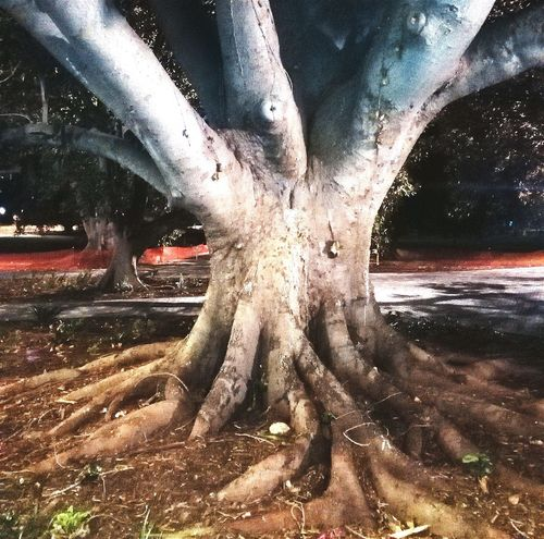 Adelaide Check This Out Adelaide, South Australia Night CityOfAdelaide Moreton Bay Fig Tree Huge Tree Ficus Macrophylla TreePorn Tree_collection  Trees Collection EyeEm Trees Tree Porn Tree Trunk Environment Protection Big Trees Treescollection Treelovers Trees Collection Tree Photo Large Trees Tree Photography Trees Taking Photos Tree Root Tree Trunks Treeroots Large Tree Treecollection Tree