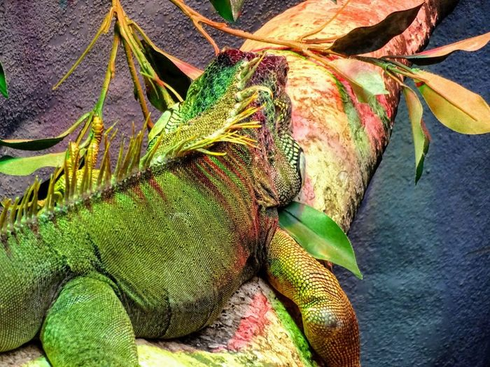 No People Green Color Lizards Chilling Out Tree Branches Scales Colours Of Nature Beauty In Nature Reptile Lazy Love Nature🌲 Multi Colored