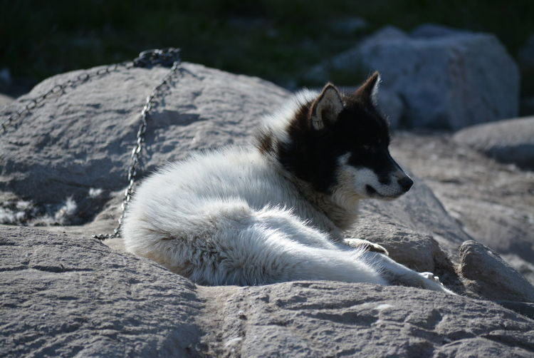 Ilulissat, Greenland - July, chained sled dog / husky in summer | sledge dogs / huskies lying on rocks Dog Love Husky Sled Dog Greenland Animal Working Animal Dog Summer Outdoors Scenery Tradition Day Sun Fleecy Fluffy Dogs Dogslife One Animal Animal Themes Chained Blackandwhite Lying Down Watching Rock Formation Nature