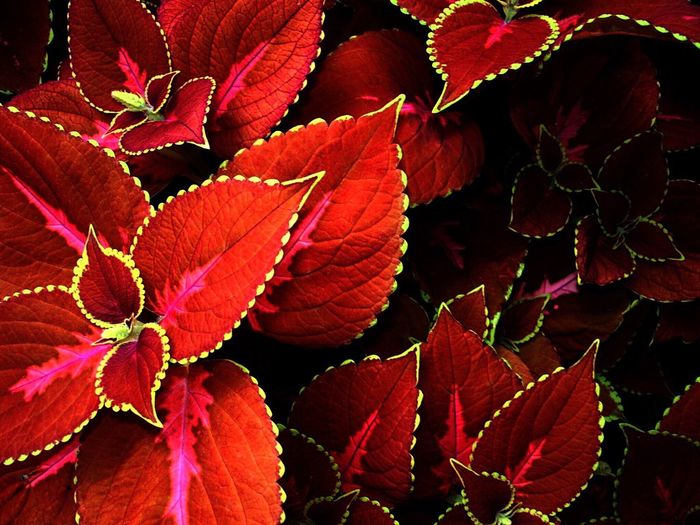 Leaf Autumn Red Change No People Nature Growth Outdoors Day Close-up Beauty In Nature Plant Freshness Fragility Coleus Blooming Freshness Nature Red