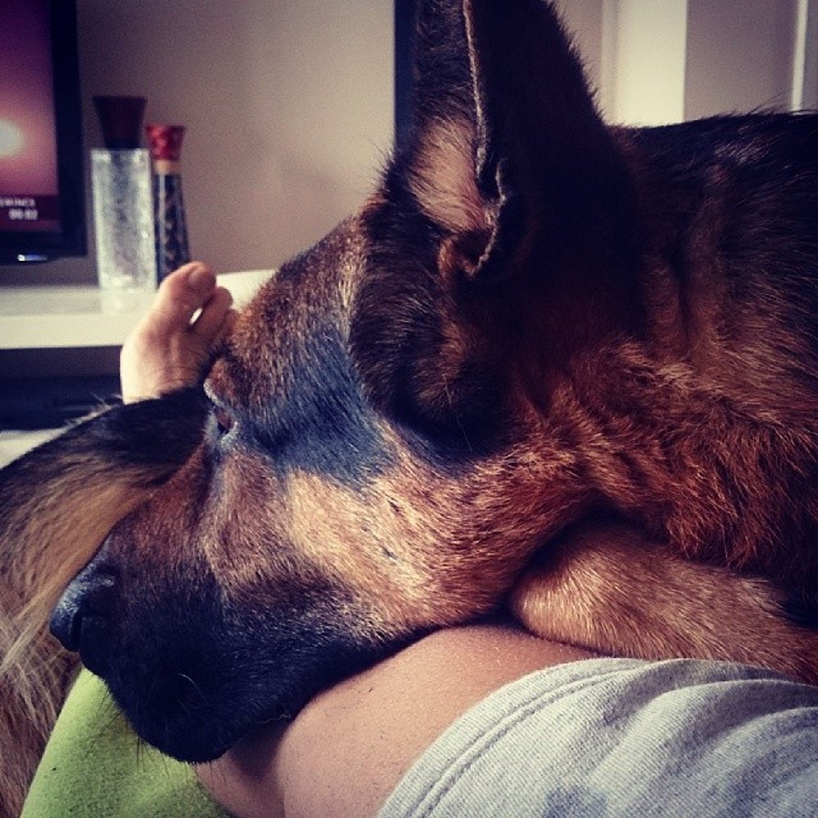 domestic animals, animal themes, mammal, pets, one animal, indoors, dog, relaxation, animal head, sleeping, home interior, close-up, resting, animal body part, lying down, part of, vertebrate, eyes closed, zoology, bed