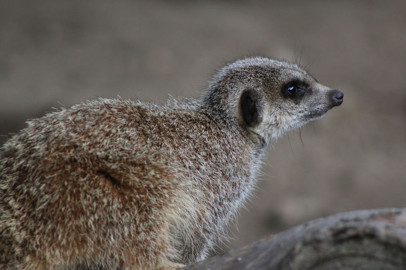 Alert Alertness Animal Hair Animal Head  Animal Themes Animals In The Wild Close-up Focus On Foreground Looking Mammal Meercat  Meerkat Nature No People One Animal Wildlife Zoo Zoology
