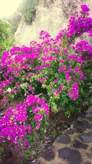 Flowers Begonvil Nature Fuchsia