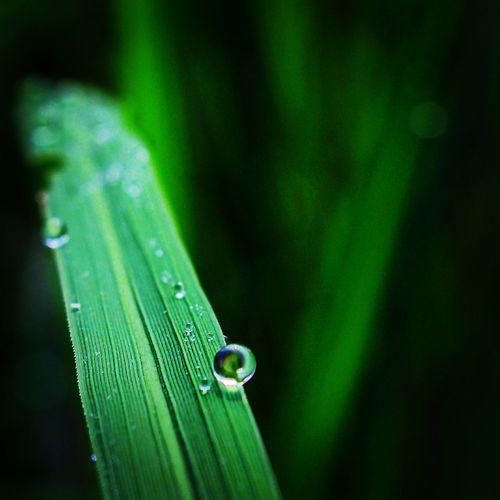 Paddy Field Morning Walk Dew Drops