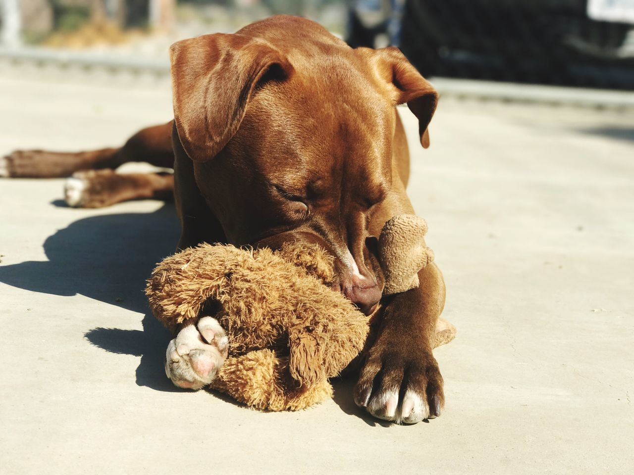 dog, animal themes, teddy bear, mammal, relaxation, stuffed toy, domestic animals, lying down, pets, no people, day, close-up, outdoors