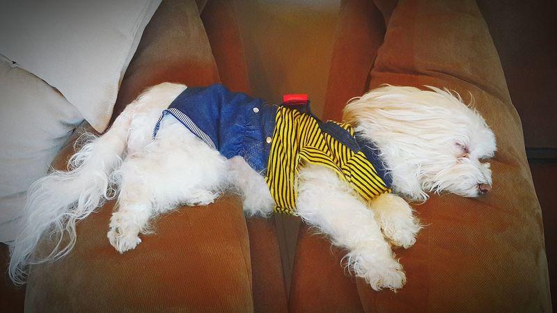 Reba Tiny Ilovemydog Bumblebee Sleeping Falling Dog Lover Dogstagram Doglover Superdog